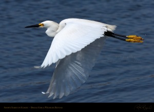 SnowyEgret_Flight_HS4593