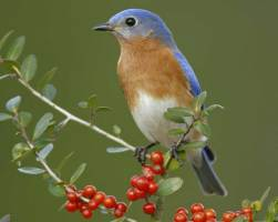 Eastern Bluebird, courtesy Audubon Society