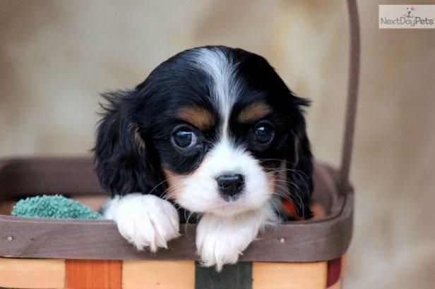 cavalier-king-charles-spaniel-puppy-picture-0b75e6ee-fd8a-4ff3-a610-a73efc2caf0b