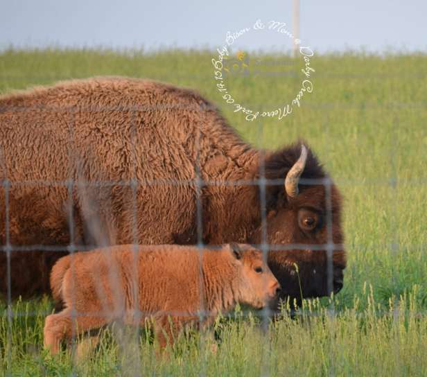 battelle-bison-and-baby