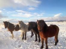 sleggjulaekur-farm-horses-in-the-snow