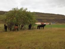 sleggjulaekur-farm-horses-under-the-tree