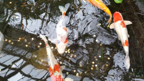 Carp at the Franklin Park Conservatory, Columbus, Ohio