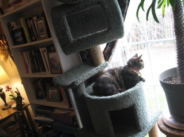 Ophelia Feb 28, 2018 in cat tree 3 looking out window