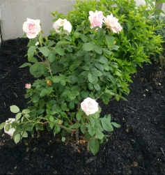 """My hybrid tea rose bush called """"Falling in Love."""" Rather ironic right now, since I have recently fallen out of love. I hope that won't hurt the bush!"""