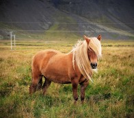 Handsome Icelandic horse. They are small, but they are NOT ponies. Image by Thorpewood