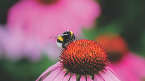 bee on purple coneflower from StockSnap