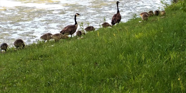 Canada goose family, goodbye
